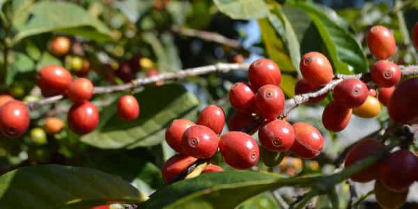 Photo: A coffee plant