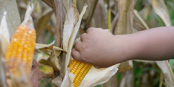 A young boy's hand picks a corn cob in a field.