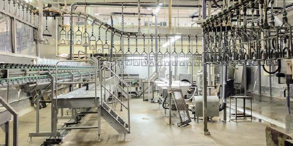 A poultry processing plant line.