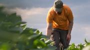 A male farmworker inspects soybeans in a field.